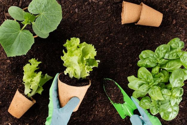 Femme plantant de jeunes plants de salade de laitue dans le potager.
