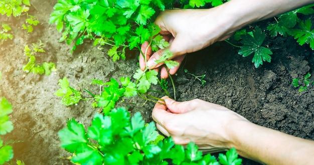 La femme plante du persil vert dans le jardin de la maison. vieille houe rustique dans le sol. travaux agricoles en été. plantes cultivées sur place et aliments écologiques. moment de la récolte.