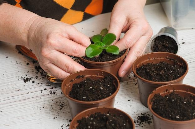 Femme plante une plante d'intérieur