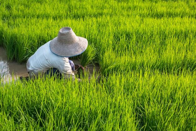 Femme, porter, chapeau, enlever, vert, semis, préparer, planification, riz