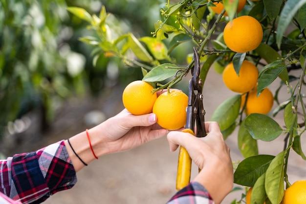 Femme prenant des oranges d'un arbre avec des ciseaux. concepts de jardins écologiques