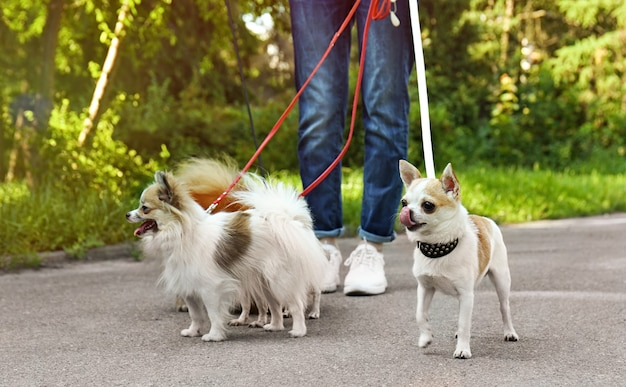 Femme qui marche les chiens dans le parc