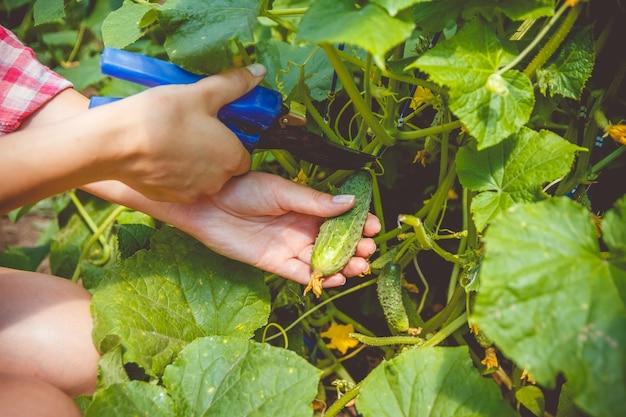 Femme rassemble des concombres dans une serre avec un outil spécial