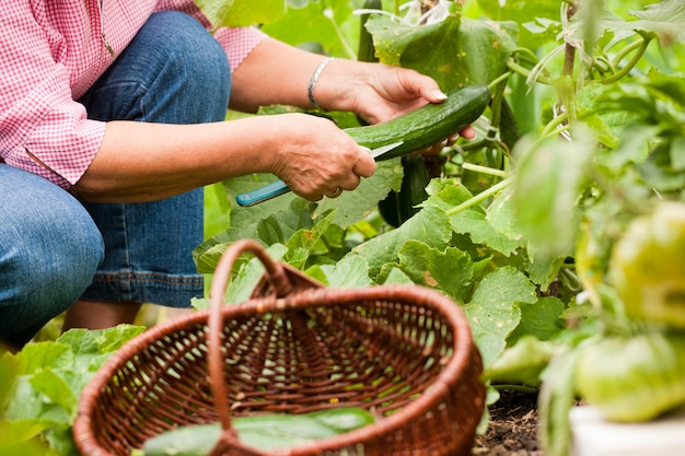 Femme récoltant des concombres dans son jardin, les coupant avec un couteau