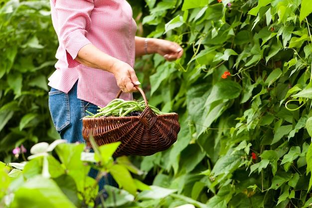 Femme récoltant des haricots dans son jardin