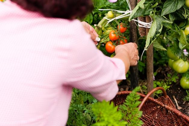 Femme récoltant des tomates