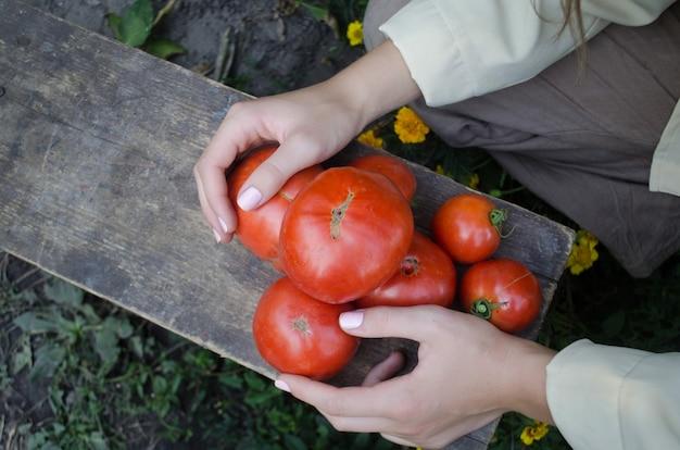 Femme récolte des tomates dans le jardin