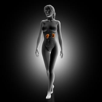 Femme avec des reins illuminés