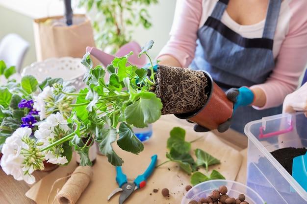 Une femme replante du pélargonium de fleur de plante d'intérieur dans un pot plus grand, gros plan sur un morceau de terre avec des racines. culture et entretien des plantes d'intérieur en pot. loisirs et loisirs, jardinage domestique