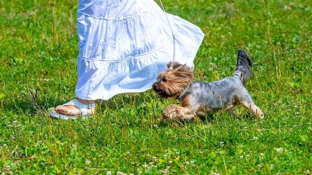 Femme en robe blanche lors d'une promenade avec un chien de race yorkshire terrier