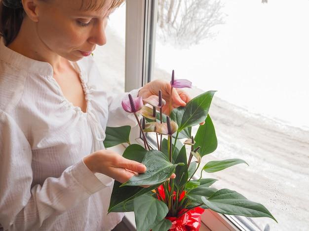 Une femme s'occupant d'une plante en pot. elevage d'anthurium.