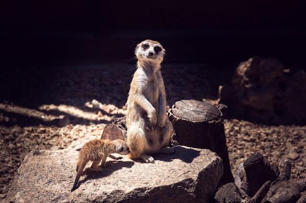 Femme suricate et son petit