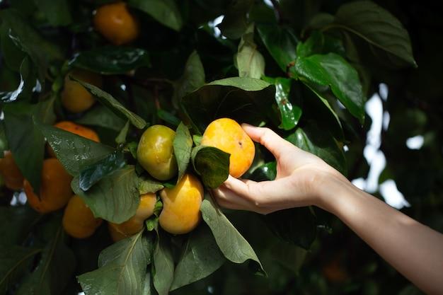 Femme tenant un fruit mûr de kakis sur l'arbre