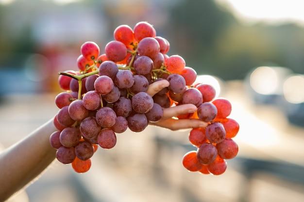 Une femme tenant un gros groupe de raisins rouges juteux dans sa main.