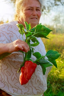 Femme tenant le poivron rouge dans le jardin à l'heure d'été.