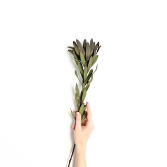 Femme, tenir, main, leucadendron, fleur, sur, a, fond blanc