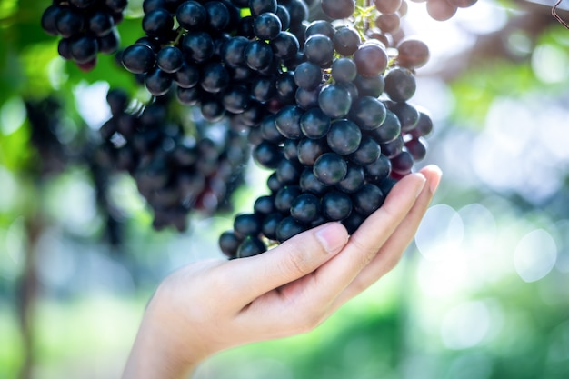 Femme tenir des raisins rouges pourpres sur la vigne