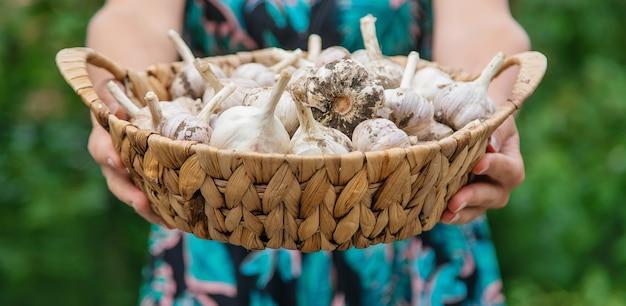Une femme tient une récolte d'ail dans ses mains. mise au point sélective.