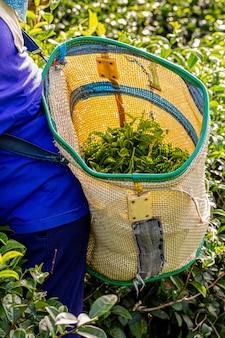 Femme travaillant dans une plantation de thé vert dans la matinée, chiang rai, thaïlande