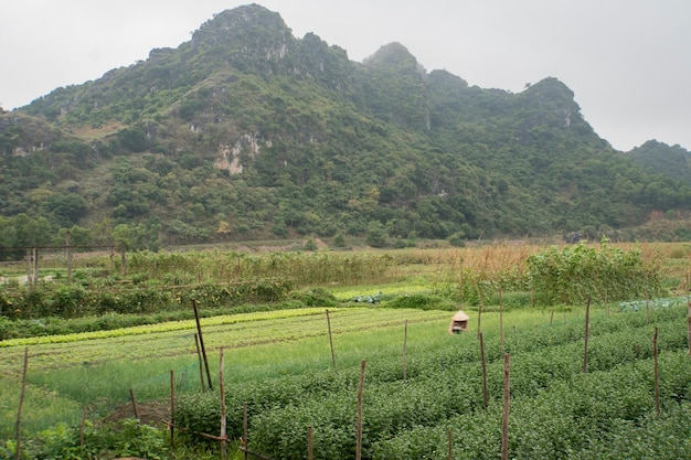 Une femme travaille dans une plantation de plantes. traitement manuel lourd de la terre. viêt nam. l'île de cat ba.
