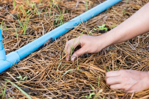 Les femmes retirent les mauvaises herbes sur un jardin de chêne vert biologique