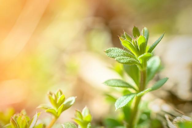 Fendoirs de galium aparine, cailloux, groseille à grume, catchweed, collante, robin run-the-haie, collant willy, collant saule, stickyjack, stickeljack et grip grass close-up au printemps