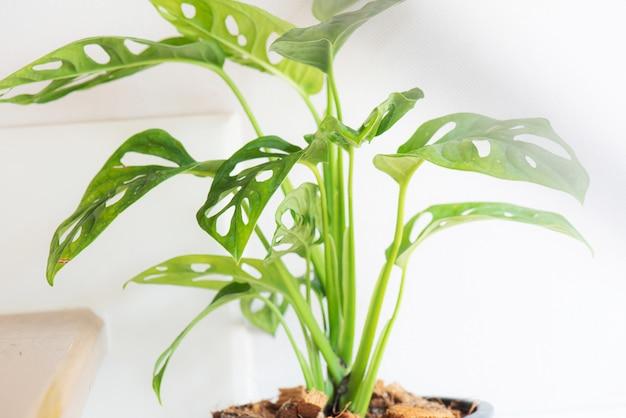 Fenêtre-feuille, monstera obliqua en pot