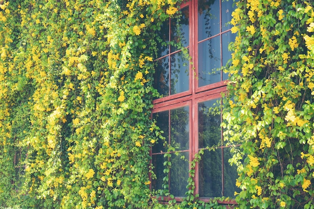 La fenêtre de la maison couverte de vignes
