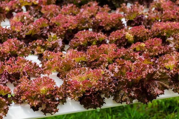 Ferme biologique avec légume agricole hydroponique. légume bio est l'agriculture commerciale en croissance