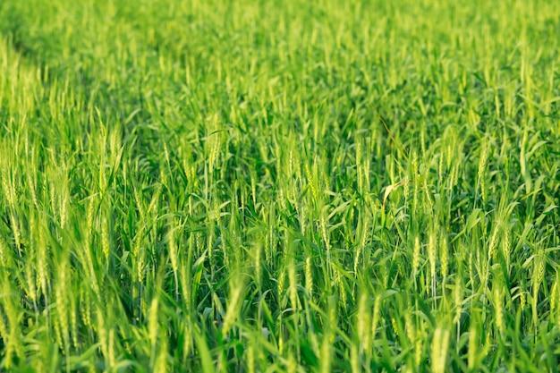 Ferme de blé vert en inde