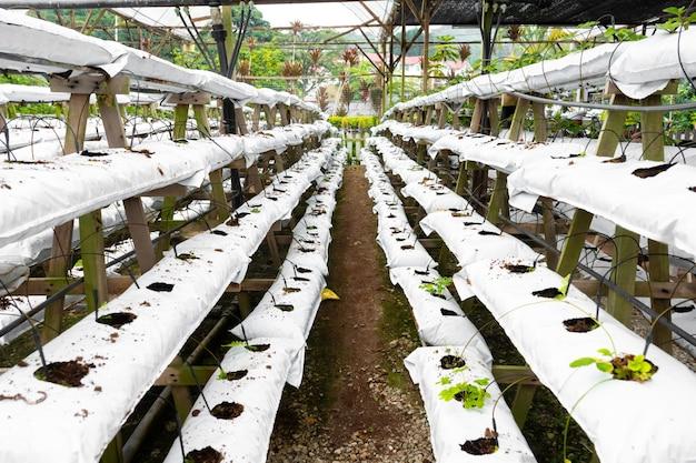 Ferme de culture d'usine industrielle moderne. serre avec arrosage automatique. préparation à la plantation.