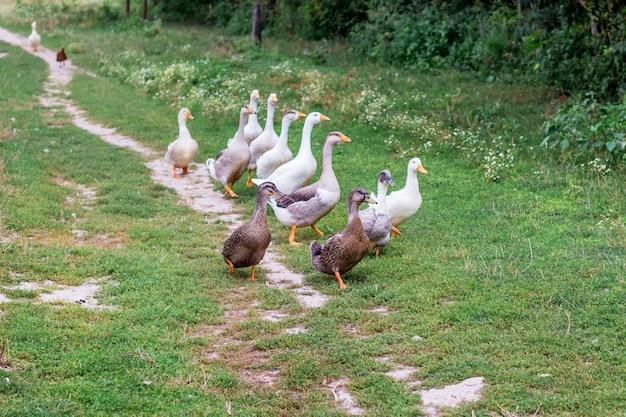 Ferme d'élevage de volaille. canards et oies à la ferme