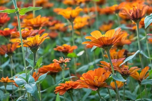 Ferme de fleurs colorées cosmos à l'extérieur