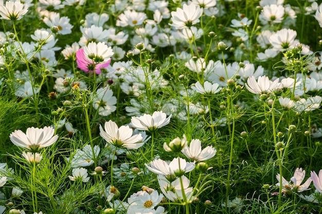 Ferme de fleurs de cosmos blanc à l'extérieur