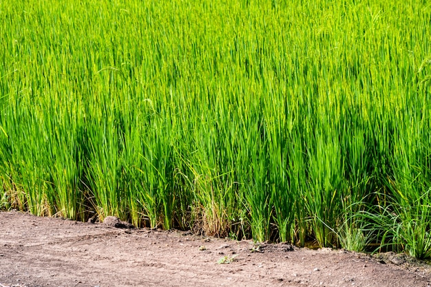 Ferme de jasmin biologique de rizière de riz, nourriture d'asie de la nature.