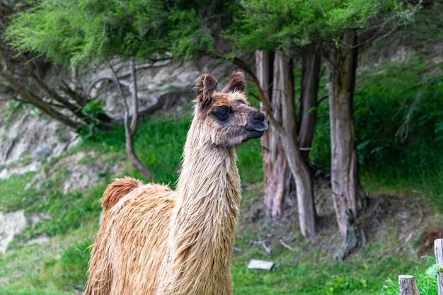 Ferme de lamas. île du nord, nouvelle-zélande