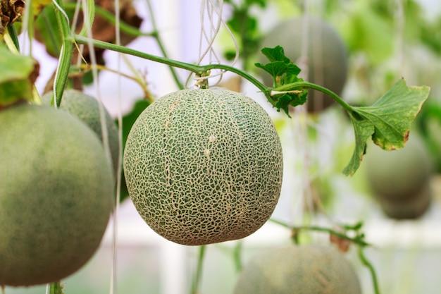Ferme de melon cantaloup japonais