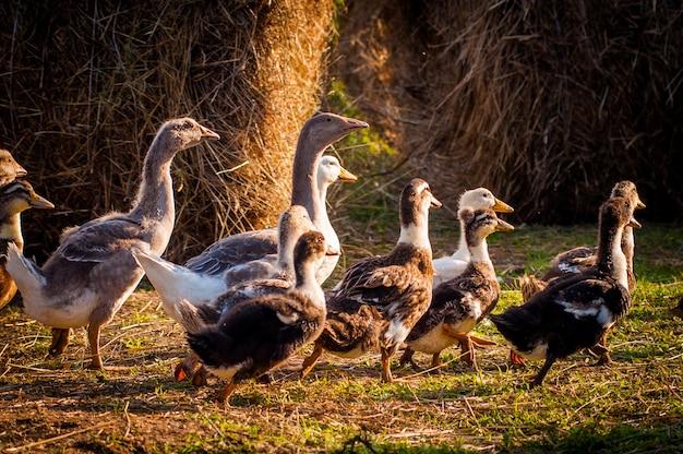 A la ferme, oies et canards courent dans la prairie, les rayons du soleil tombent sur eux