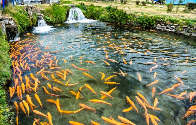 Ferme piscicole de truites à ingenio à junin pérou