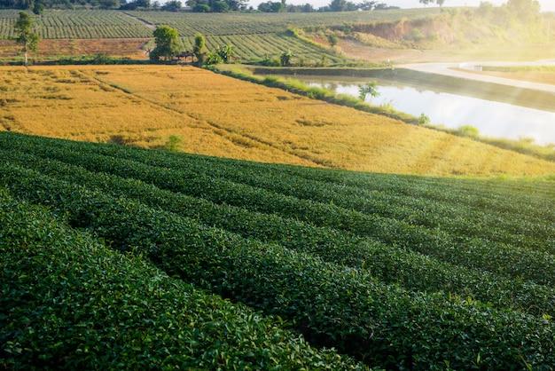 Ferme de thé vert
