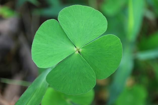 Fermé le trèfle à quatre feuilles du symbole chanceux dans le champ vert