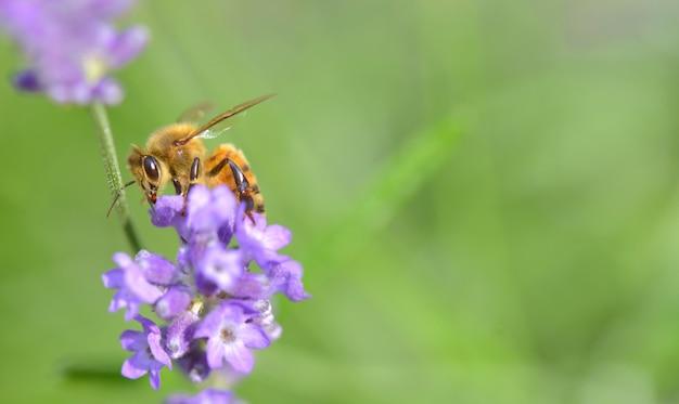 Fermer sur une abeille sur une fleur de lavande sur vert