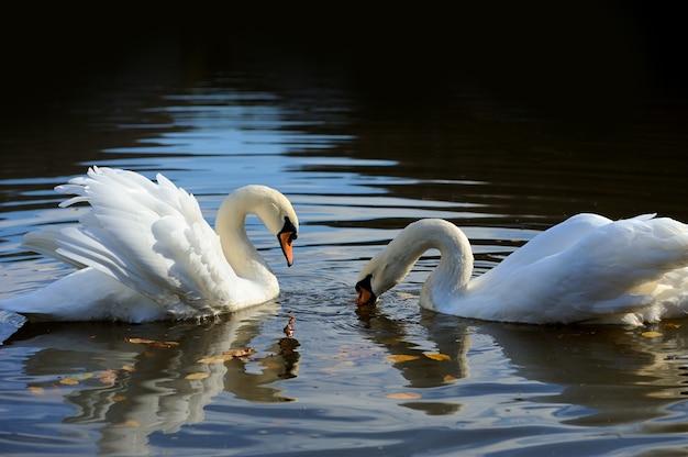 Fermer le beau cygne nageant dans le lac
