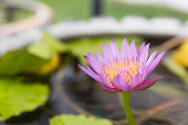 Fermer une belle fleur de lotus