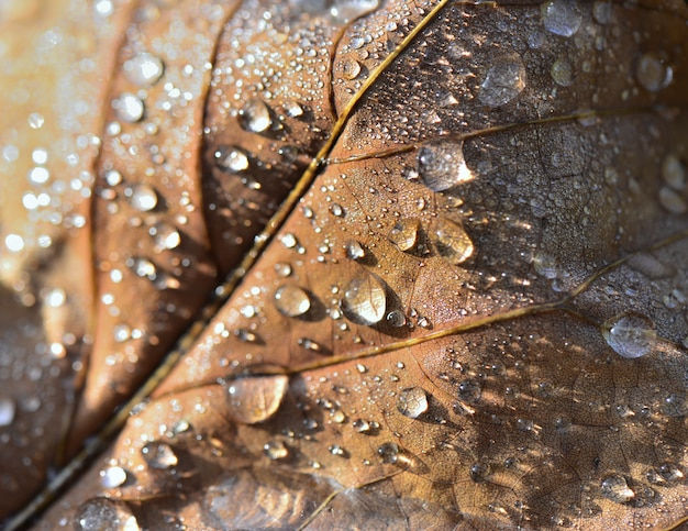 Fermer sur les gouttes d'eau recouvert d'une feuille brune en automne