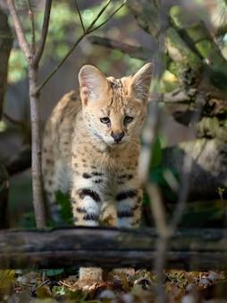 Fermer le jeune chat serval