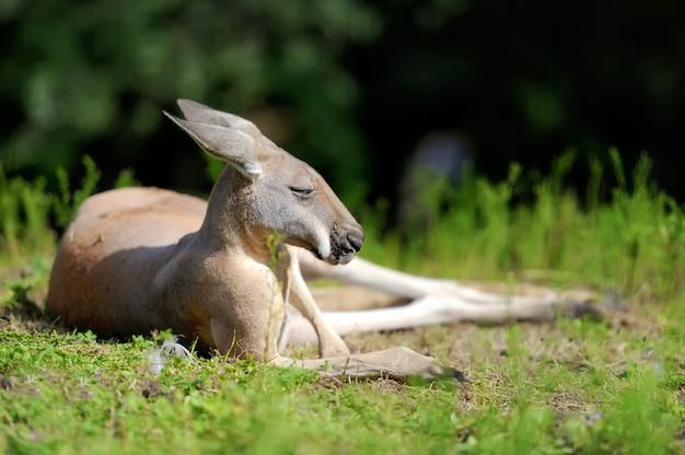 Fermer le jeune kangourou dans l'herbe