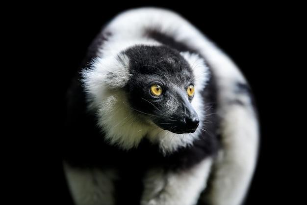 Fermer lémur vari noir et blanc
