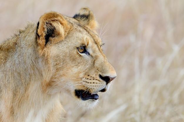 Fermer le lion dans le parc national du kenya, afrique