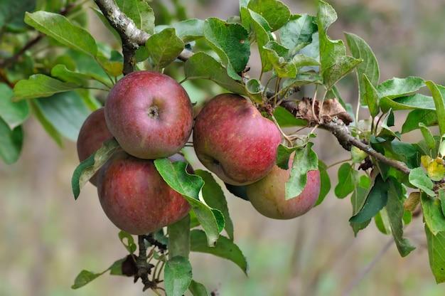 Fermer les pommes rouges
